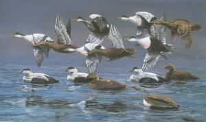 Eiders over old Decoys